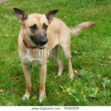 Large Yellow Dog In Red Collar On Background Of Grass