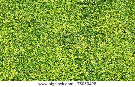 Green Leaves Wall Background