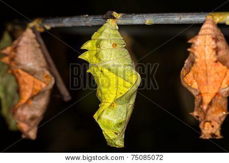 Butterfly Pupa, Macro
