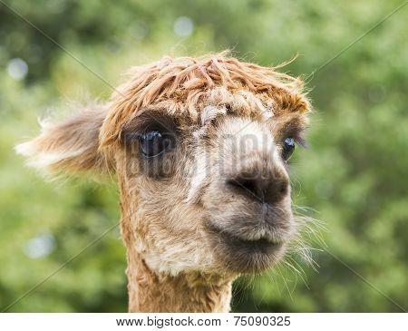 Close up image of Alpaca head