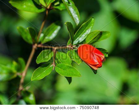 Red Pomegranate Blossom