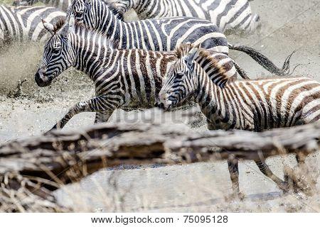Afraid zebras running in the water