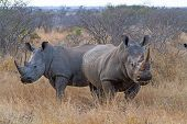 foto of rhino  - Pair of White Rhinos Grazing at Kruger National Park South Africa - JPG