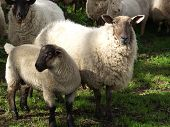 picture of suffolk sheep  - some suffolk sheeps on a green field - JPG
