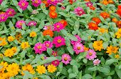 pic of zinnias  - Zinnias flower blooming  in garden - JPG