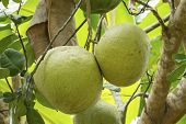 stock photo of pomelo  - Fresh pomelo fruits on tree in garden - JPG