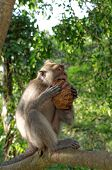 picture of macaque  - crab - JPG
