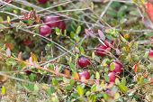 picture of swamps  - Background of a swamp cranberries in wild nature - JPG
