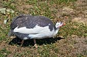 stock photo of fowl  - Chicken guinea fowl on a background of green grass and earth - JPG