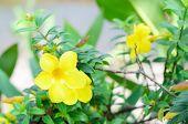 image of trumpet flower  - Beautiful yellow flower Golden trumpet vine Yellow bell  - JPG
