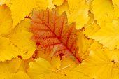 stock photo of birching  - Falling yellow golden birch leaves fell on birch leaves - JPG