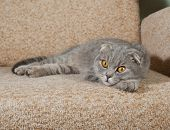 stock photo of scottish-fold  - Scottish fold gray cat lying on brown couch - JPG