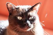 pic of portrait british shorthair cat  - Portrait of a big male cat - mix of British Shorthair and Burma