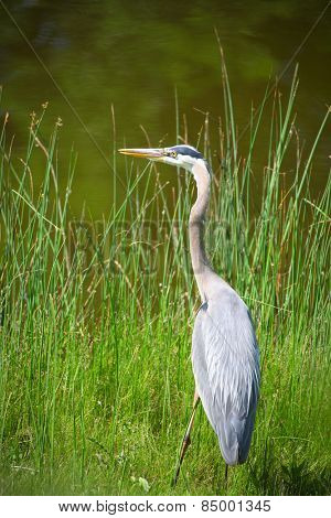 Great Blue Heron bird in the tall grass