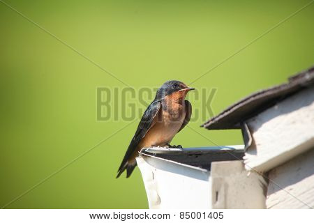 Close up shot of Tree swallow bird