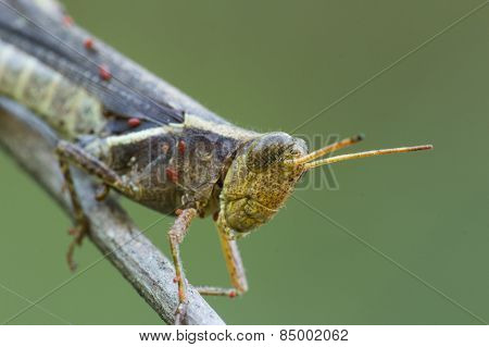 Sick Cricket