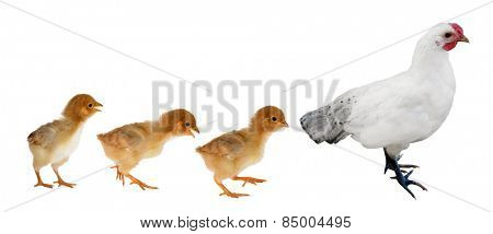 hen ant three yellow chickens isolated on white background