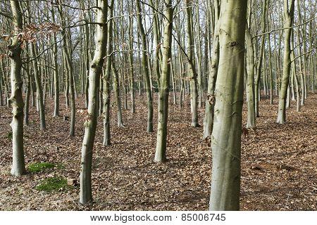 Beech Trees..