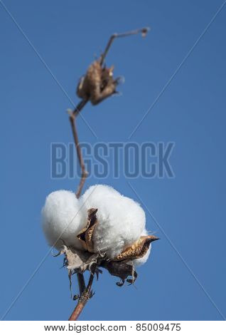 Close up of white cotton flower on the branch.