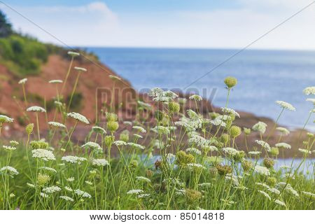 Wildflowers know as Queen Anne's Lace, growing along the shoreline of Prince Edward Island, Canada.