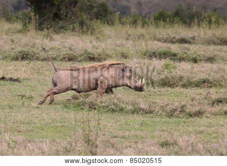 walking warthog