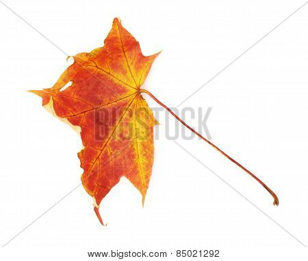 Red autumn maple leaf