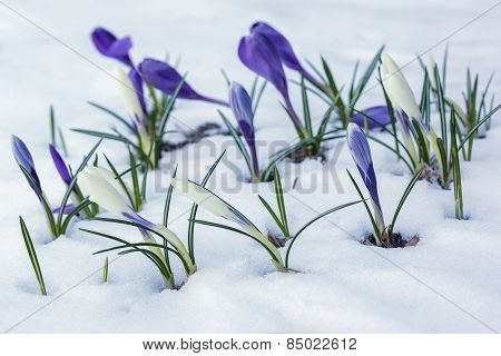 White And Purple Crocuses Growing On A Snow-covered Flowerbed.
