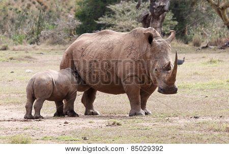 drinking baby rhino
