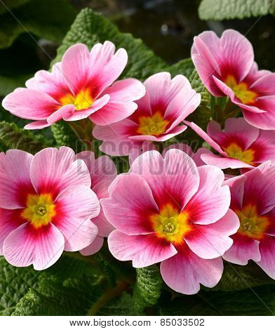 Attractive Pink Flowers Of A Primrose Plant