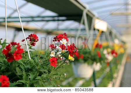 Geranium Plants For Sale In The Greenhouse In Spring