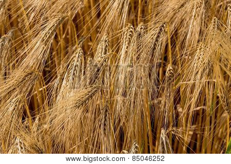 a corn field with barley ready for harvest. symbolic photo for agriculture and healthy eating.
