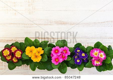 Fresh colorful primula flowers in pots on wooden background. Top view.