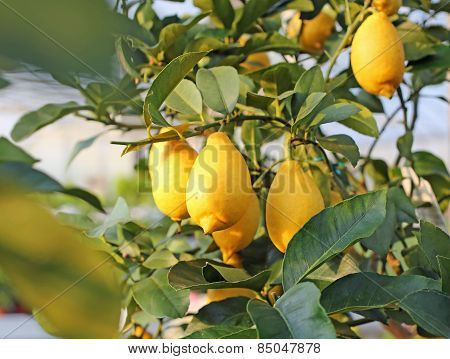 Yellow Lemons In The Tree Of The Orchard Of The Mediterranean European Country