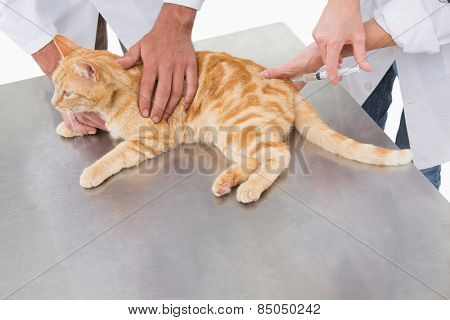 Veterinarians doing injection at a cat in medical office