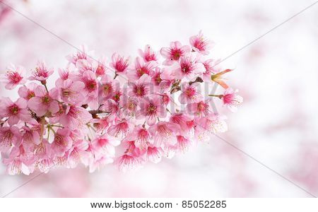 Beautiful  pink color  of  Cherry  blossom .