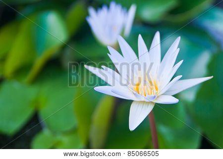 White Lotus Flower Beautiful Lotus.