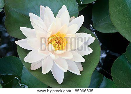 Yellow Lotus Flower Beautiful Lotus.