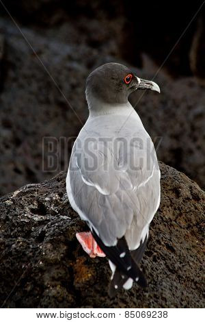 Swallow tailed gull in the Galpagos Islands