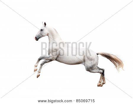 White Akhal-teke Horse Rearing Isolated On Black