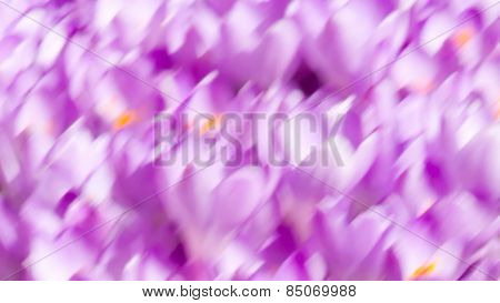 Wallpaper With Painted Crocuses