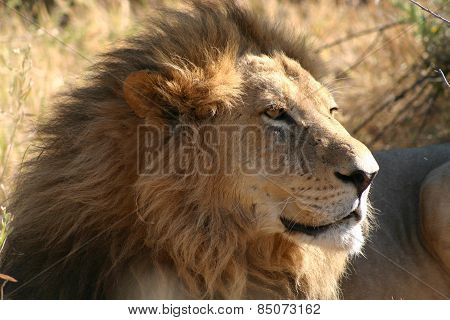 Lion in the savanna