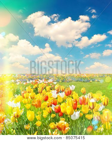 Tulip Flowers Field Over Cloudy Blue Sky On Sunny Day. Retro Style