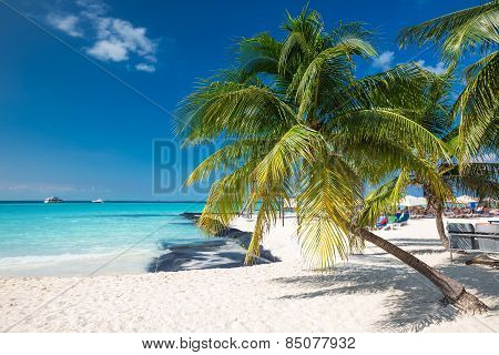 Coconut Palm On Caribbean Beach