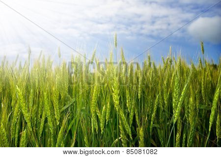Young Ears Of Grain On Sunburst Background