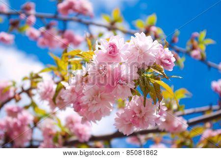 Sakura Tree Blossoms In Spring Against A Blue Sky