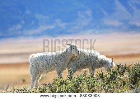 Goats grazing in south Patagonian steppe