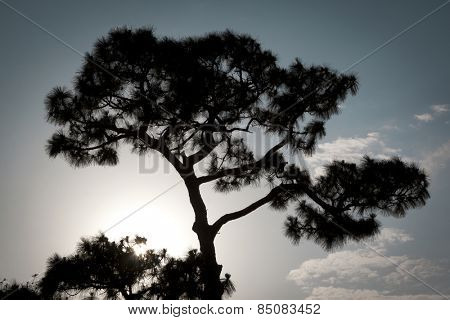 The silhouette of a Sand Pine tree, Pinus clausa, growing in Florida at sunset.