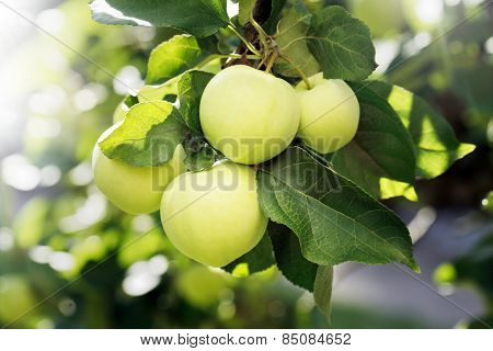 Yellow green apples on an appletree branch.