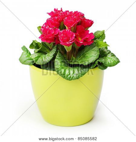 Red Primula in ceramic pot isolated on white background.