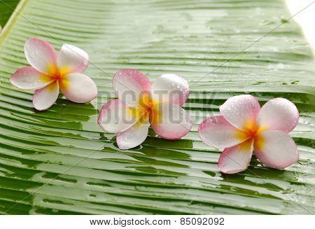 three frangipani on banana leaf